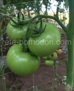 Rete pomodori